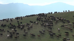 Large flock of sheep walk over a hill in Central Asia Stock Footage