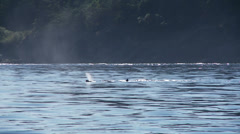 Orca, Killer Whale, Whales - stock footage