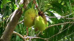 Jackfruit tree with fruit Stock Footage