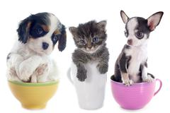 Kitten and puppies in teacup Stock Photos