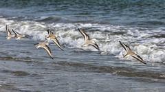 Shorebirds flying Stock Photos