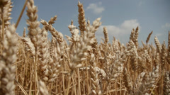 Wheat Stock Footage