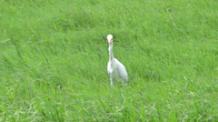 egrets walking on the grass - stock footage