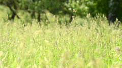 Landscape with a traditional hay field full of wild grasses Stock Footage
