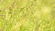 Stock Video Footage of wind is swaying grass on the meadow