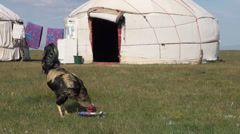 Rooster feeds in front of traditional yurt Stock Footage