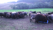 Stock Video Footage of Wide shot of Sheep feeding time