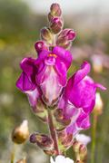 antirrhinum cirrhigerum flower. - stock photo