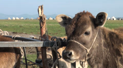 Head of a calf in front of a yurt camp on grasslands in Kyrgyzstan Central Asia Stock Footage