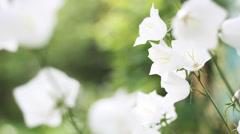 Beautiful bellflowers on blur green background Stock Footage