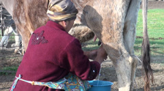 A woman in a traditional dress milks a cow in Kyrgyzstan, Central Asia Stock Footage