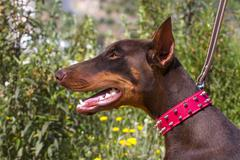 brown domestic dog with red collar - stock photo