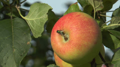 Golden fly (green bottle fly) moving on apple Stock Footage
