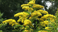 Stock Video Footage of Solidago canadensis, Canada goldenrod with honeybees - medium shot