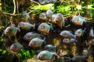 Stock Photo of piranha - colossoma macropomum