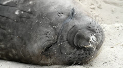 Southern Elephant Seal is resting - stock footage
