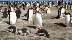 Gentoo Penguin colony with three chicks Stock Footage