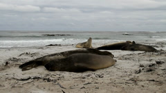 Southern Elephant Seals are sleeping - stock footage