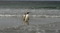Gentoo penguin bathing Stock Footage