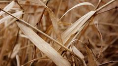 Dried Autumn Straw Close Up Stock Photos