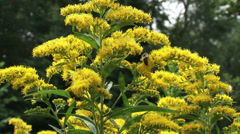 Stock Video Footage of Solidago canadensis, Canada goldenrod with honeybees - close up