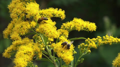 Solidago canadensis, Canada goldenrod with honeybees - close up Stock Footage
