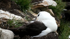 Albatross is cleaning his feathers Stock Footage