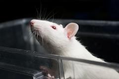 white (albino) laboratory rat in acrylic cage peeking and climbing out - stock photo