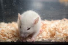 sad baby albino rat in acrylic cage - stock photo