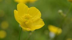 Buttercup flower - stock footage