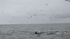 Stock Video Footage of Minke whales feeding scotland