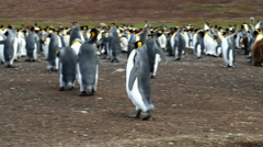 King Penguin runnign away - stock footage