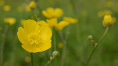 Buttercups in meadow Stock Footage
