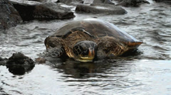 Green Turtle - stock footage