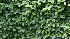 Trimming Hedge Fence Stock Footage