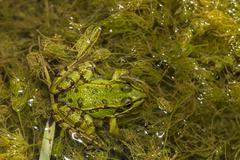 edible frog (pelophylax esculentus) - stock photo