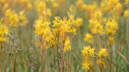 Stock Video Footage of Bog asphodel in moorland