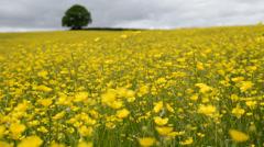 Buttercup meadow - stock footage
