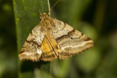 Goldwing (synthymia fixa) nocturnal moth Stock Photos