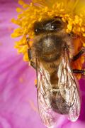 european honey bee (apis mellifera) - stock photo
