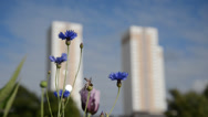 Stock Video Footage of Wildflowers and bees in urban environment