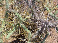 Thin Cactus Stock Photos
