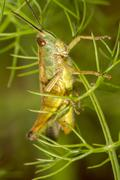 Green grasshopper (chorthippus apicalis) Stock Photos