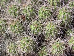 Cactus with Intertwined Quills Stock Photos