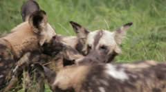 Wild Dogs Stock Footage