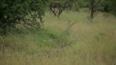 Cheetahs Stock Footage