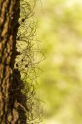 bunch of opiliones spiders - stock photo