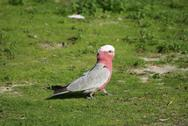 Stock Photo of galah cockatoo male on grass
