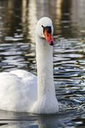 Beautiful white swan bird Stock Photos