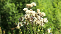 White dried flowers Stock Footage